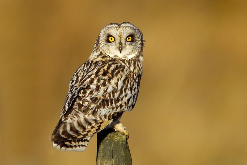 Short- eared Owl. John Chapman.