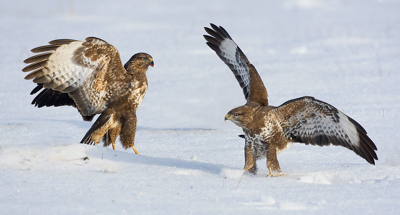 Buzzards fighting. John Chapman.