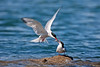 Common Terns. John Chapman.