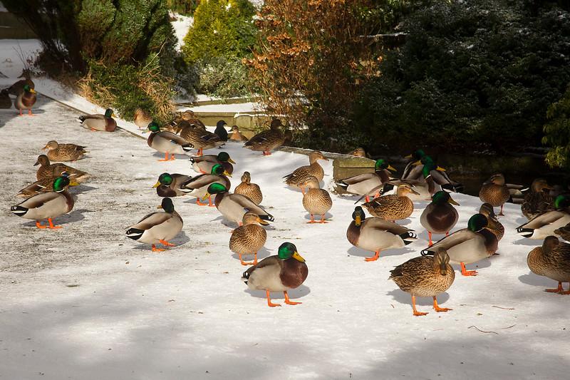 Male and Female Mallard Ducks. John Chapman.