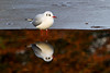 Black Headed Gull. Winter Plumage. John Chapman.