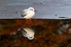 Black Headed Gull. Winter Plumage. John Chapman.