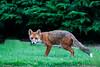 Red Fox taken in my garden. John Chapman.