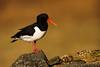 Oystercatcher Prospecting a nest. John Chapman.