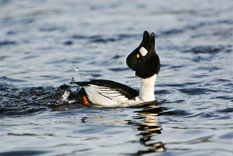 Male Golden Eye Duck. John Chapman.