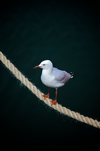 White seagull on a rope
