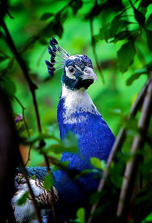 Peacock Through the Trees