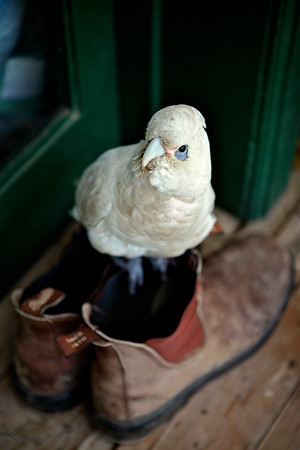 Australian Short Billed Corella Perched on a Pair of Old Work Boots