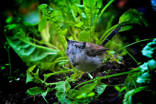 Female Fairy Wren in the Vegetable Garden