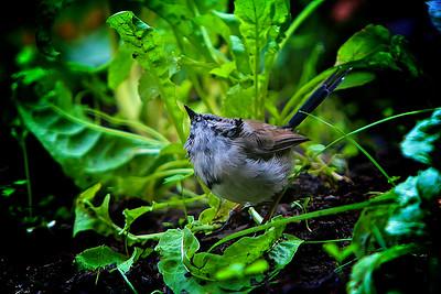 Female Fairy Wren in the Vegetable Garden