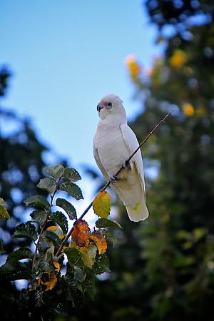 A Corella on a Branch