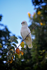 A Corella on a Branch