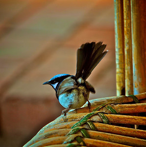 Fairy Blue Wren About to Fly off the Old Wicker Chair