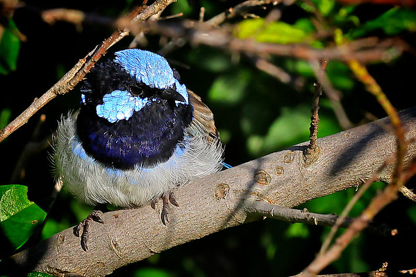 Thoughtful Moment - Blue Wren on a Branch