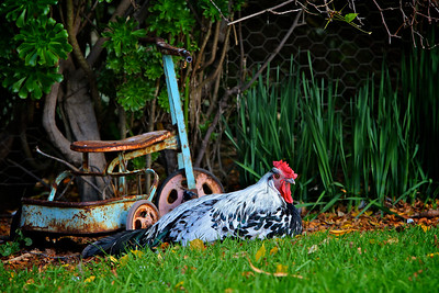The Resting Rooster - A silver spangled hamburg cross Australorp rooster resting in the garden near a vintage toy pedal bike
