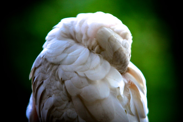 Australian Short Billed Corella having a Nap