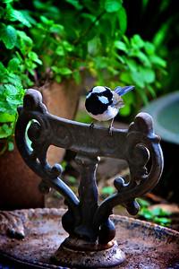 Blue Wren on the Old Shoe Scraper