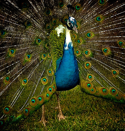 Intense Colours of a Peacock