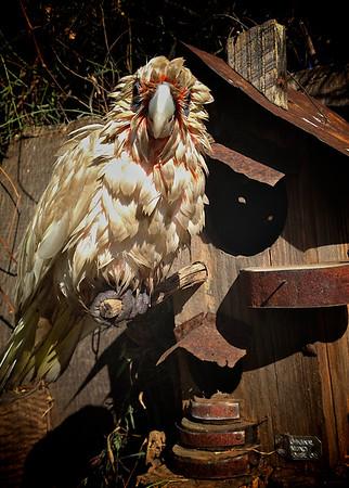 Crazy Bird! An Australian Short Billed Corella Drying Out in the Sun