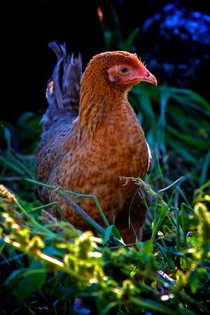 Brown Chicken in the Garden