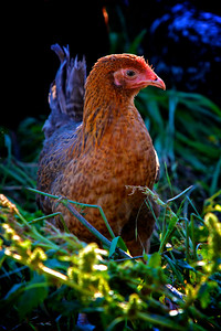 Brown Chicken in the Garden