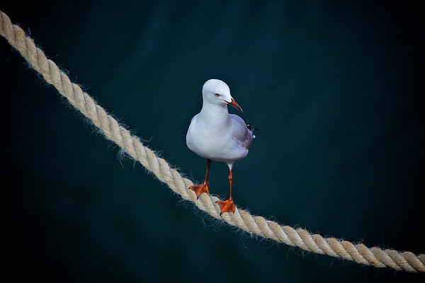 A White Seagull on a Rope 1