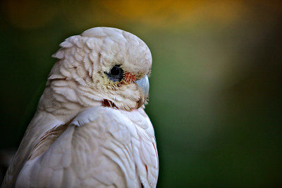 An Australian Corella having a contemplative moment