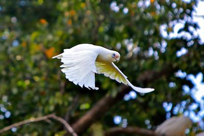 A Happy Looking Corella in Flight