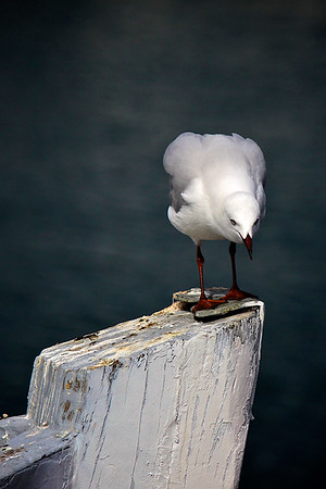 Curious Seagull on the timber bow of a boat