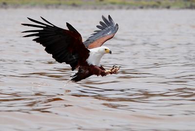 African Fish Eagles (Haliaeetus vocifer) - Elsemere, Kenya