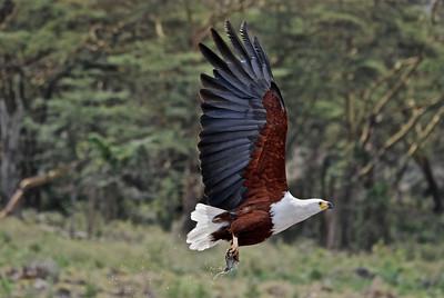 African Fish Eagle (Haliaeetus vocifer) - Elsemere, Kenya