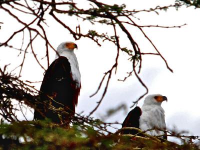 Pair of African Fish Eagles (Haliaeetus vocifer) - Elsemere, Kenya