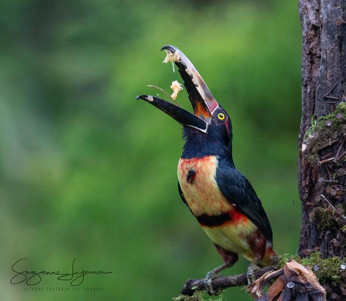 Juggling Aracari