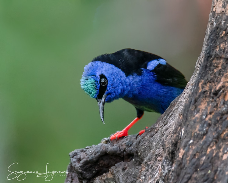 Male Red-Legged Honey Creeper