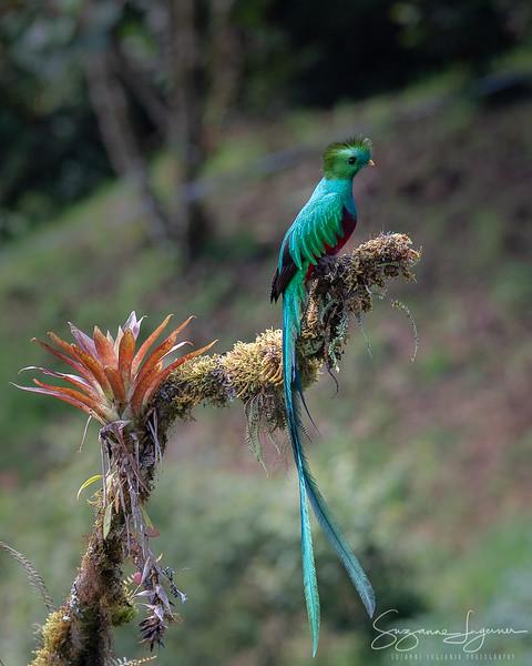 Male Quetzal (2)