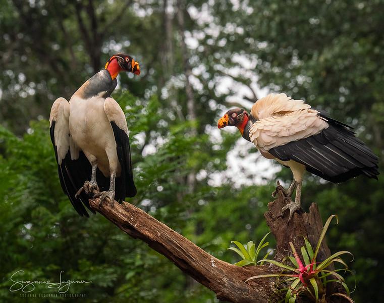 King Vultures (3)