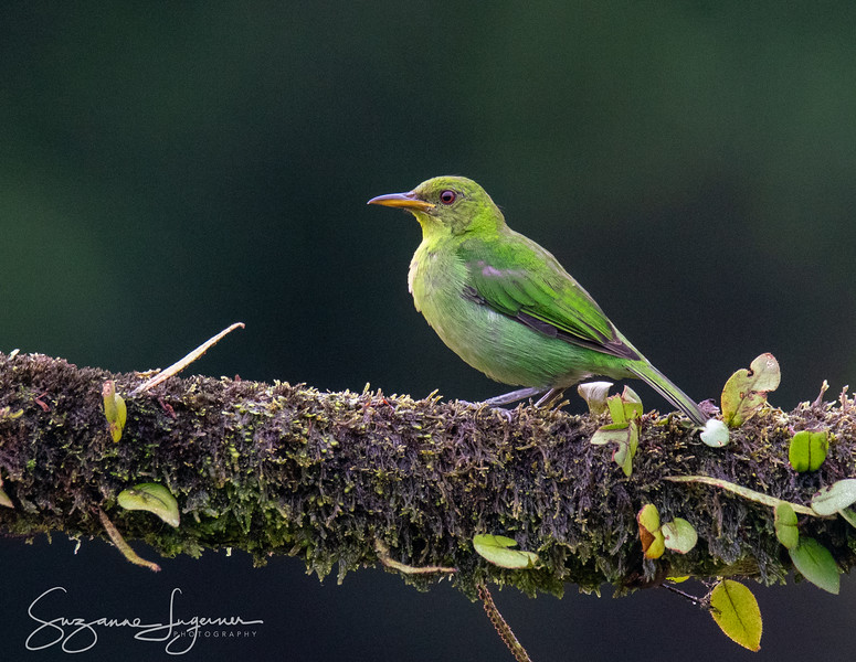 Female Green Honey Creeper