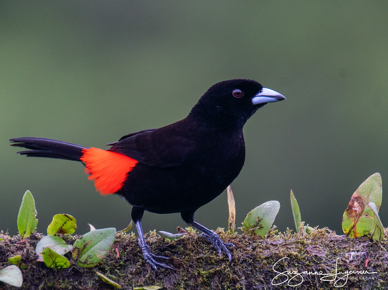Male Cherrie's Tanager (2)