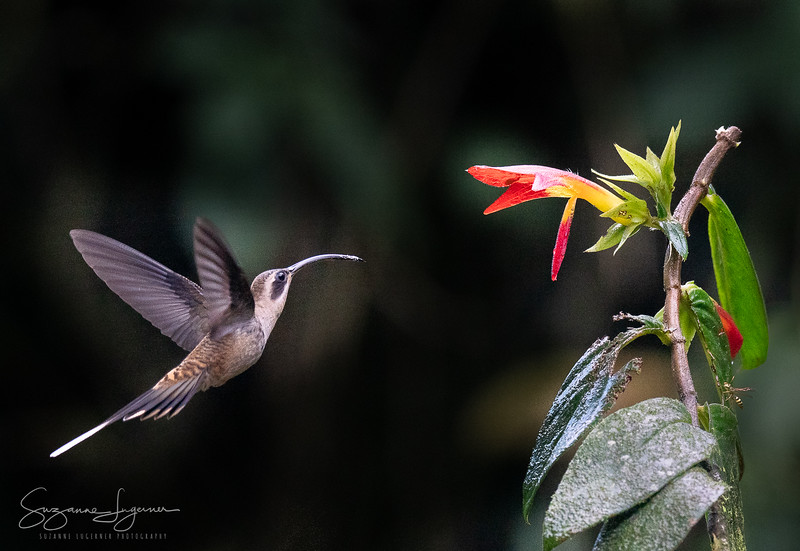 Long-Billed Hermit Hummingbird