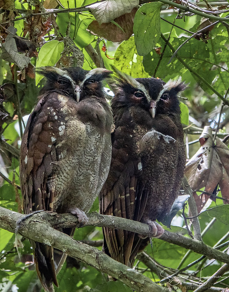 Crested Owls