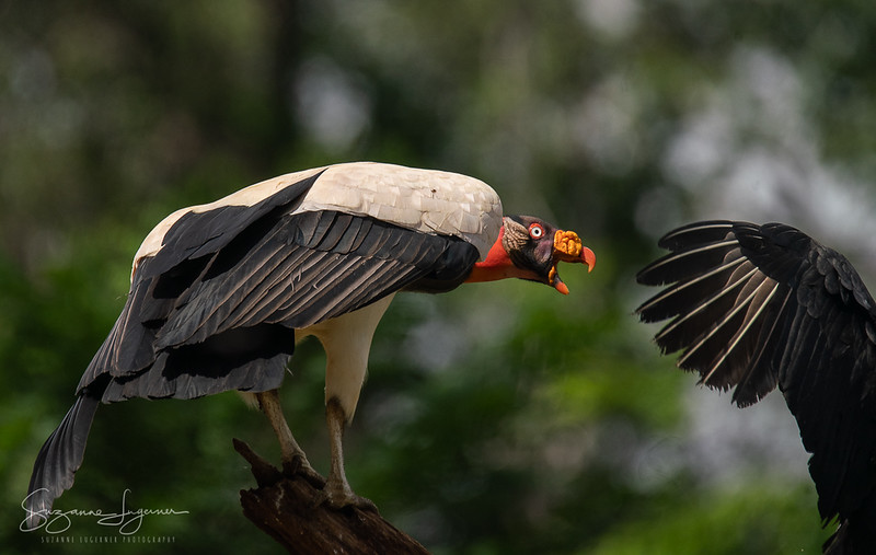 King Vulture (2)