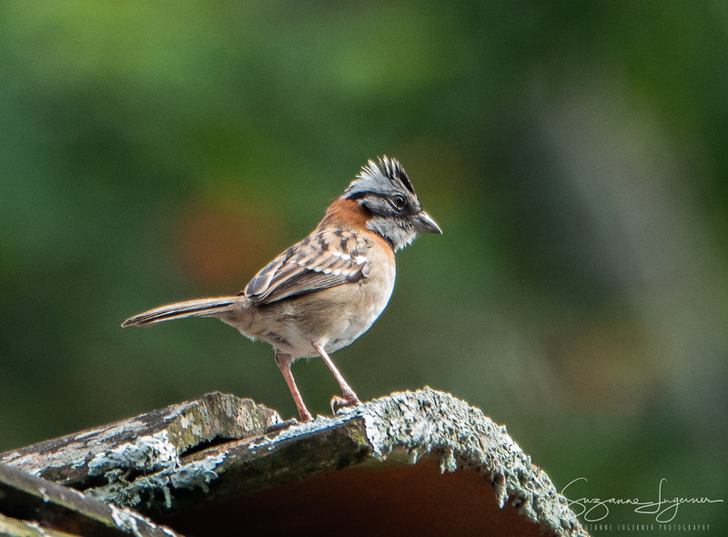 Rufous Collared Sparrow