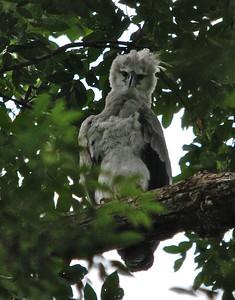 Harpy Eagle - Guyana, South America Rainforests