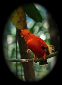 Cock of the Rock, Guyana South America