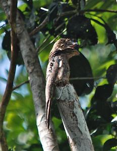 White Winged Potoo, Guyana, South America