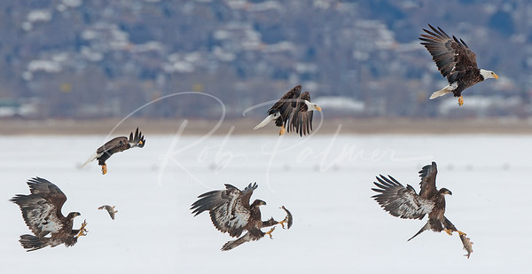 A three frame sequence of Bald Eagle playing catch.