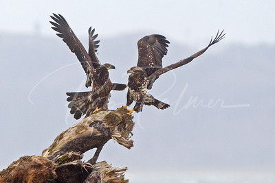 """Get off my perch!""  Young Bald Eagles 0221"