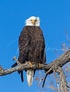 """Bald Eagle giving me the """"look"""""""