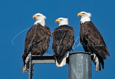 Three Beautiful Adult Bald Eagles