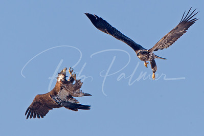 Immature Bald Eagles in a mid-air battle